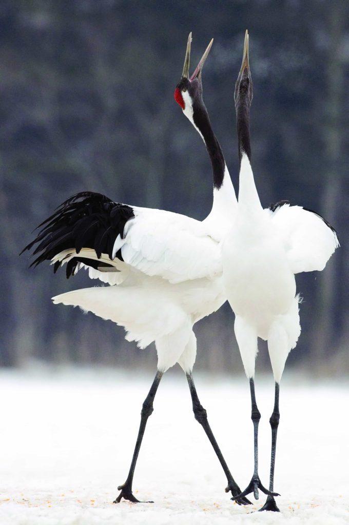 Red-crowned Cranes (Grus japonensis) pair calling, Akan, Hokkaido, Japan