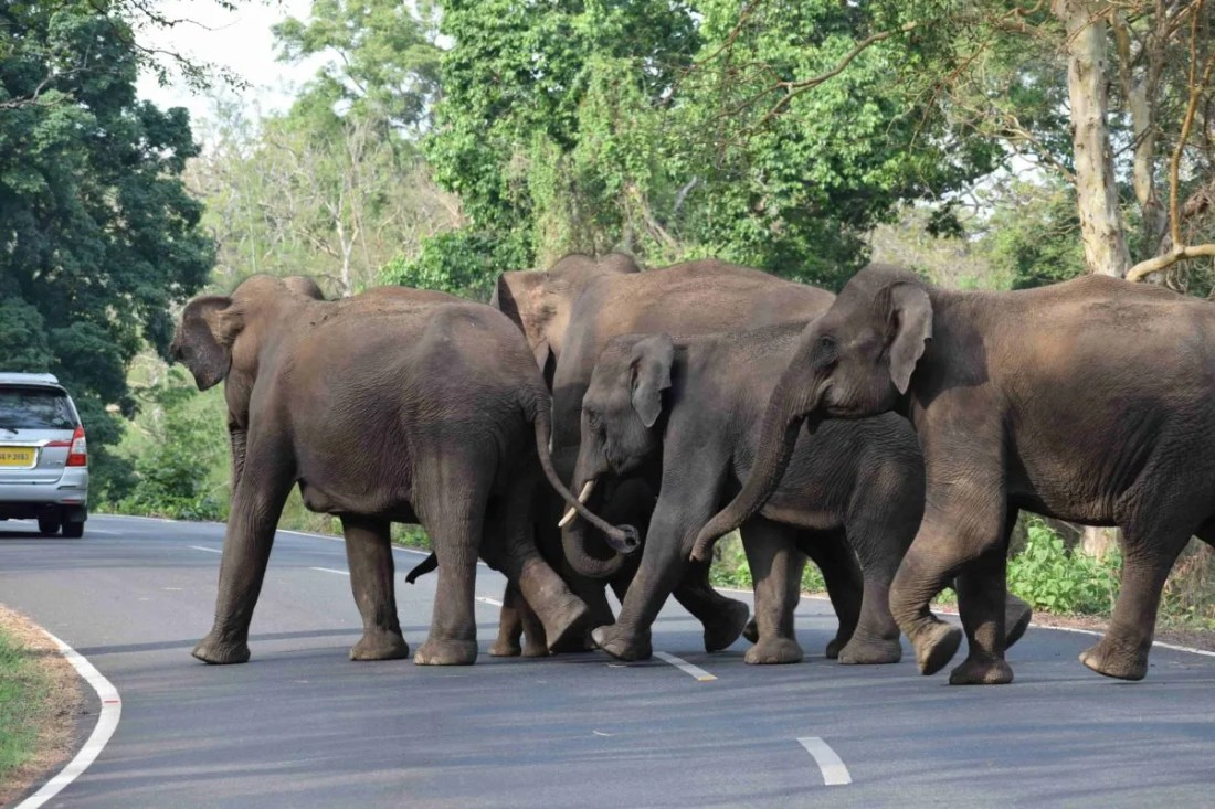 Elephants crossing a road to quench their trust