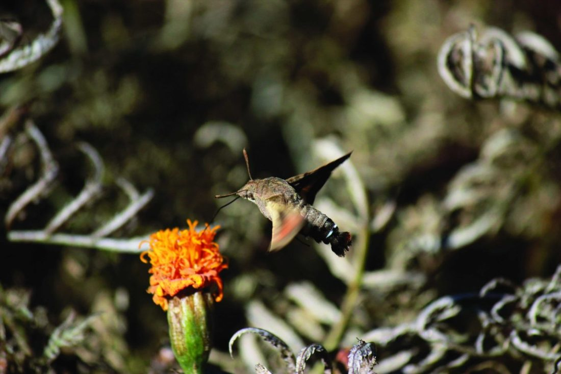 Blooming seasons are brief and several animals, including the Hummingbird Moths (Macroglossum stellatarum), make full use of this period by feeding for longer durations.