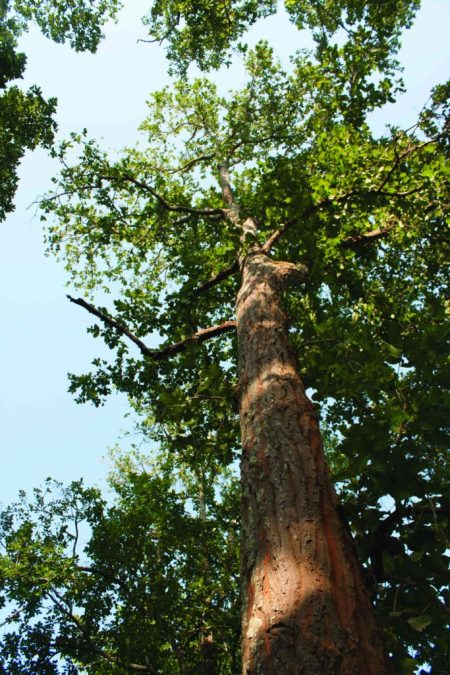 Sal (Shorea robusta)_jharkhand