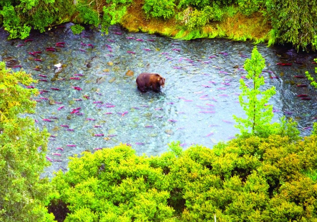 Aerial view of a Brown bear fishing for salmon at Kenai National Wildlife Refuge in Alaska