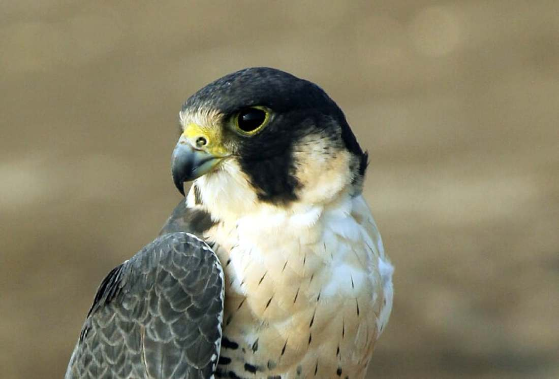 The fearsome Peregrine scanning the surrounding landscape for a prey