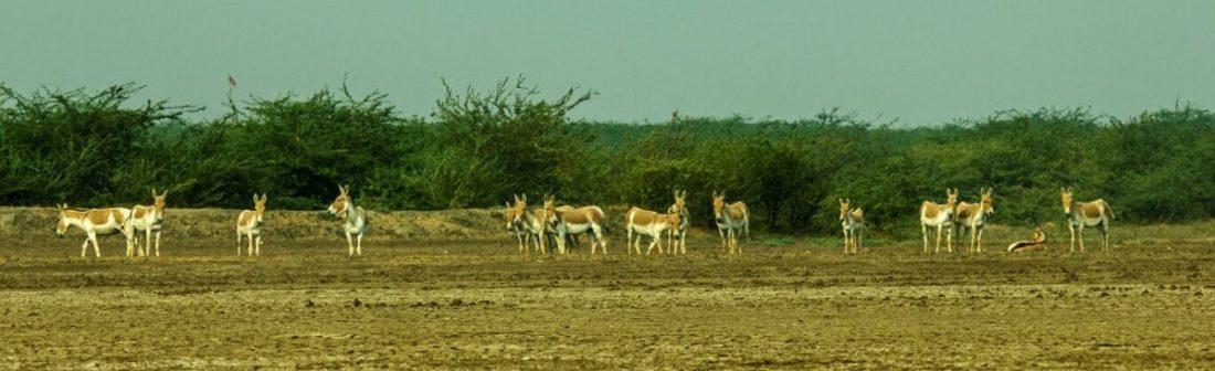 A herd of wild assess