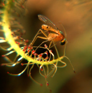Insectivorous Drosera