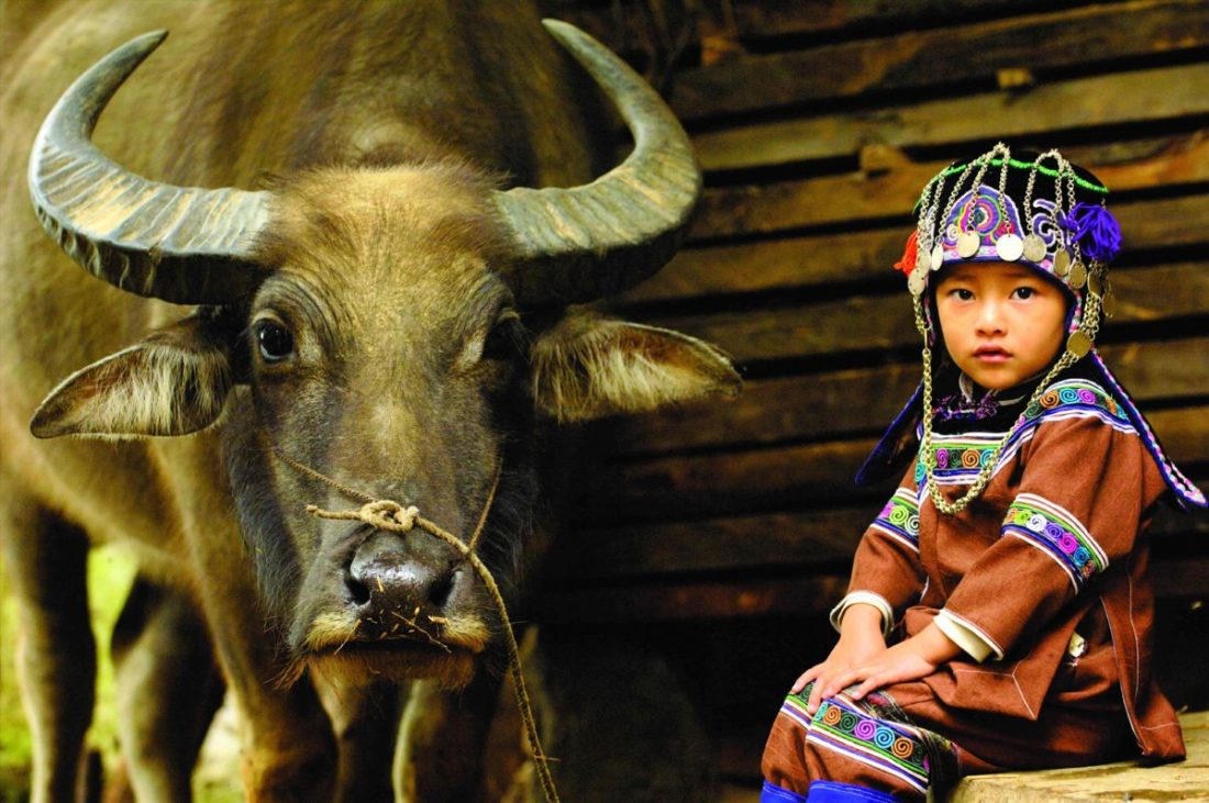 Hani child in traditional costume sitting beside domesticated water buffalo used for ploughing the rice paddies. Yuanyang, Honghe Prefecture, Yunnan Province, China 2006