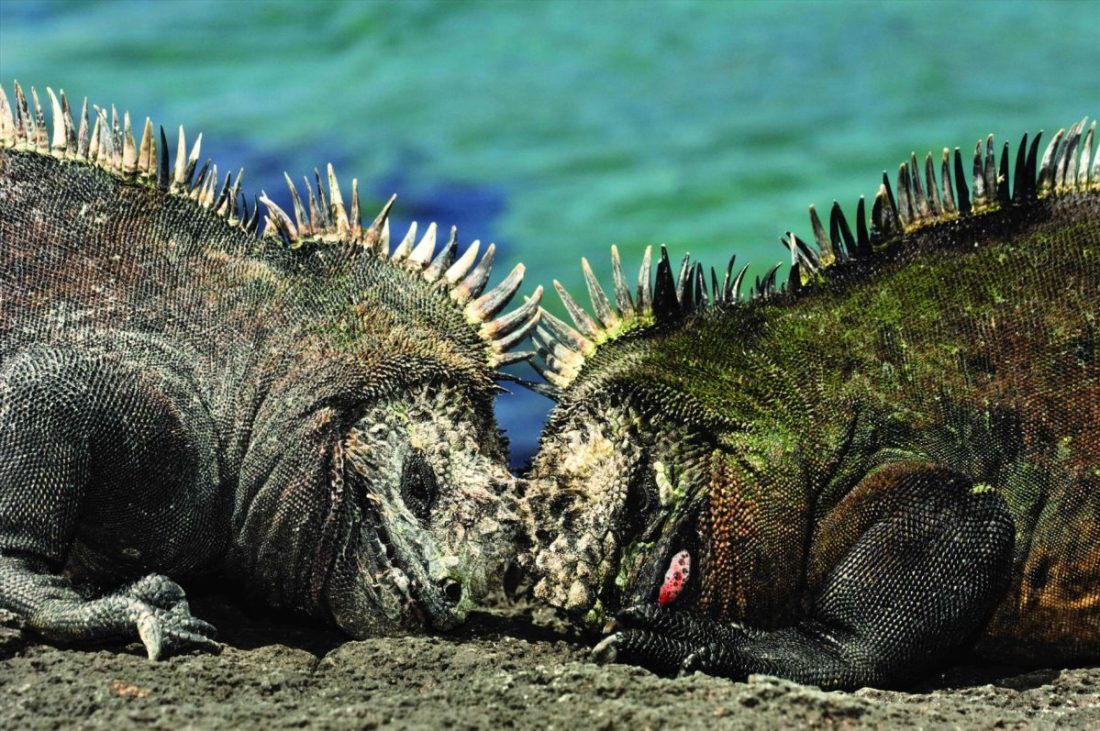Marine iguanas (Amblyrhynchus cristatus) two males fighting