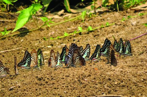 Butterflies mudpuddling on the river bed.