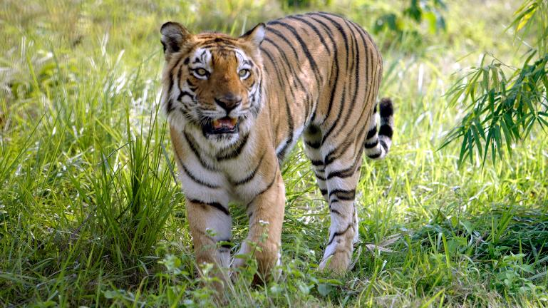 Hunt for man-eating tiger Avni