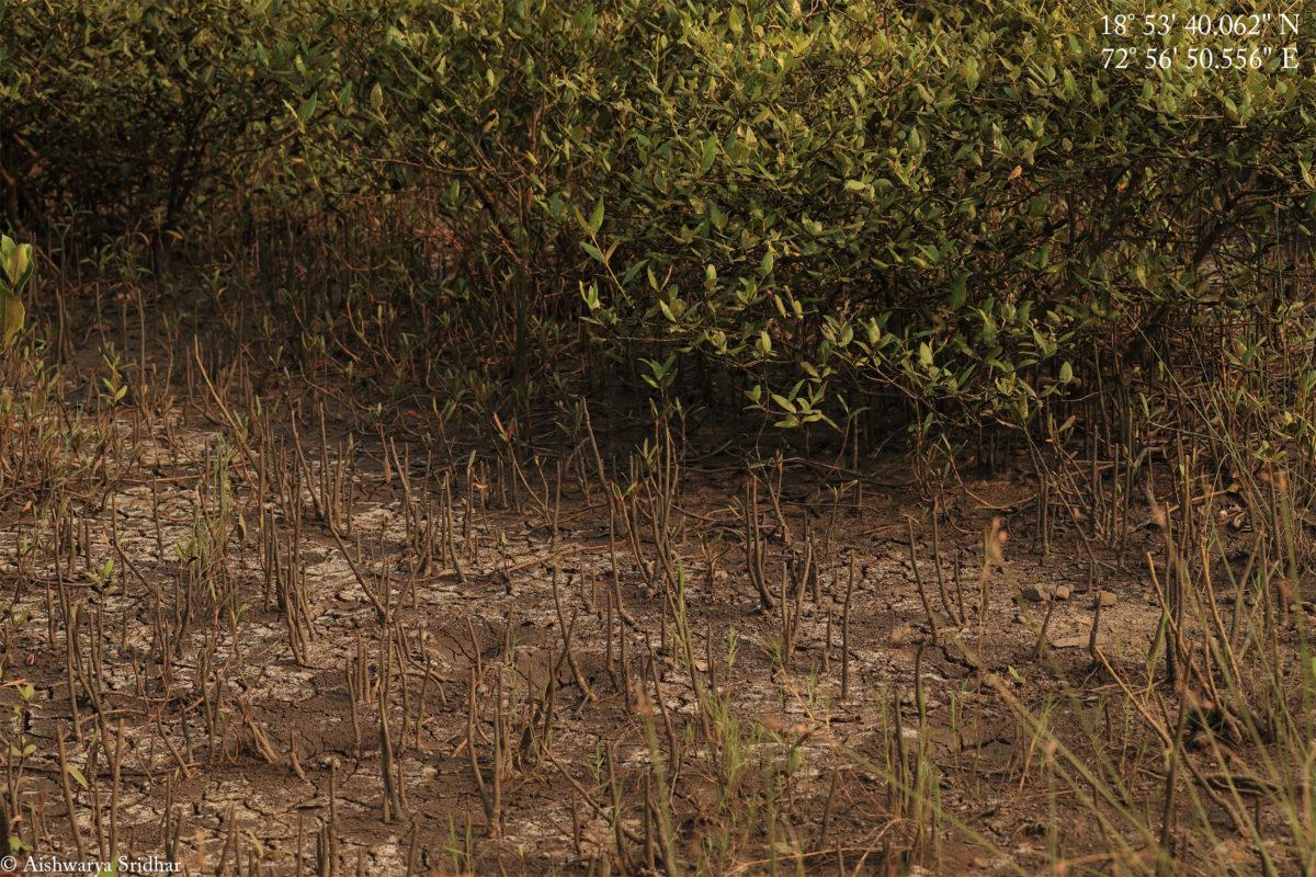 Gasping for breath – Mangroves of Panje