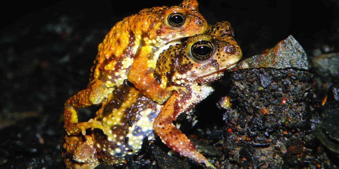 Tiger toads of the Sahyadris