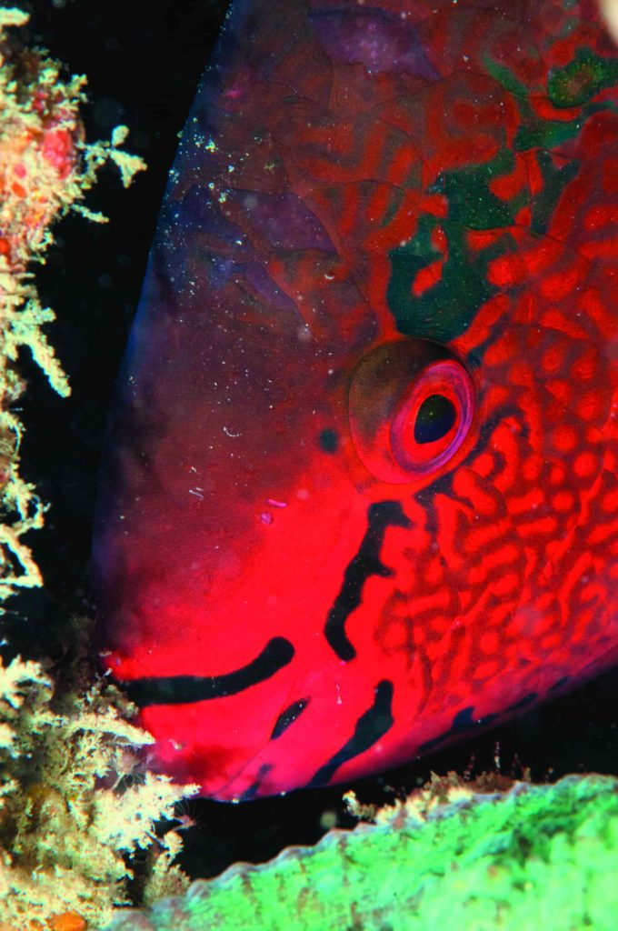 A parrotfish asleep in a crevice. Without eyelids, the fish looks awake and hiding.