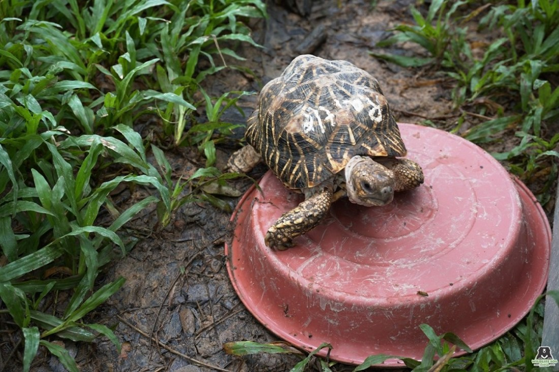 Rattle, one of the Indian Star Tortoises to be repatriated to India