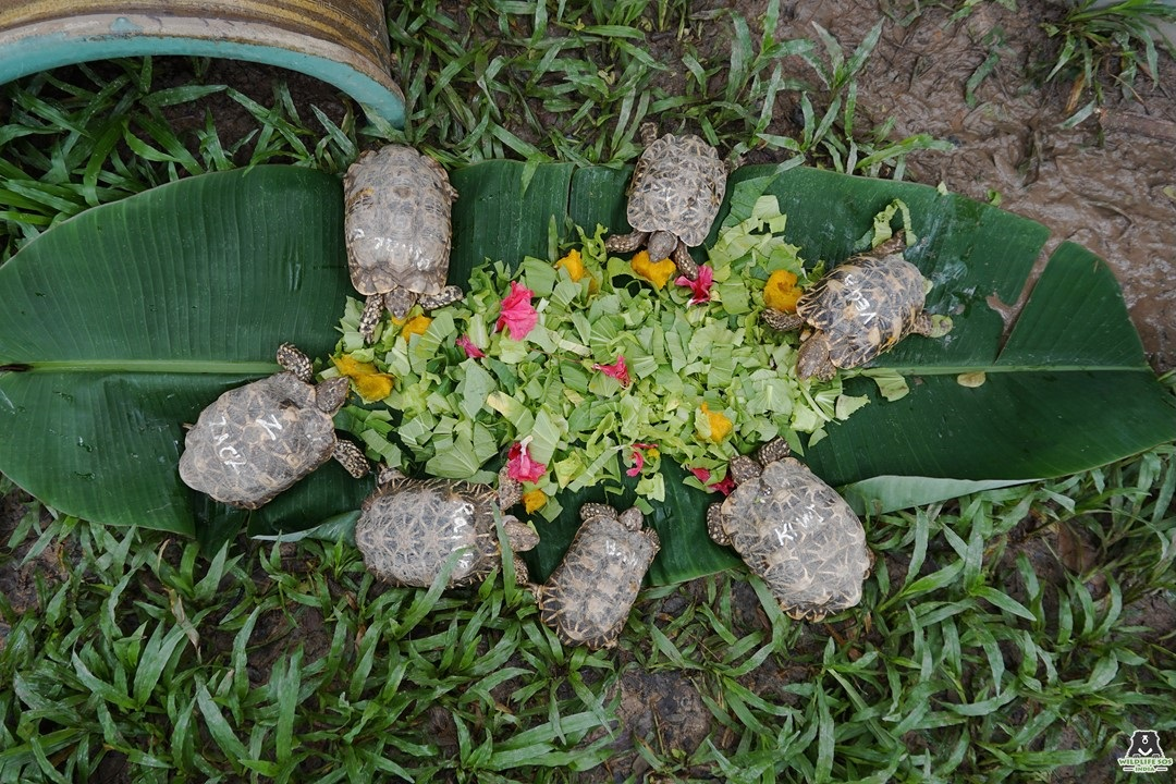 The Star Tortoises enjoying a healthy meal at the ACRES rescue center in Singapore