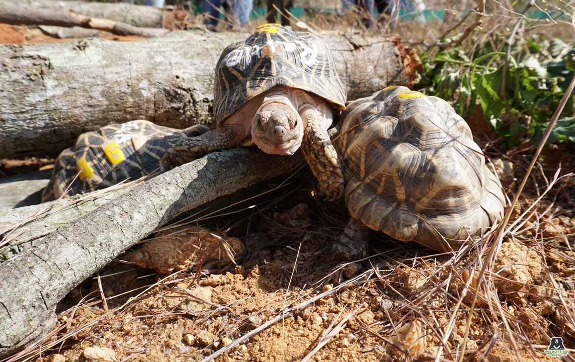 The tortoises exploring their new surroundings at the quarantine unit in Karnataka