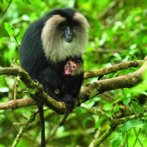 Females conceive only once in three years, giving birth to a single offspring. Given the lifespan of a Lion-tailed Macaque, that doesn't amount to very high numbers.