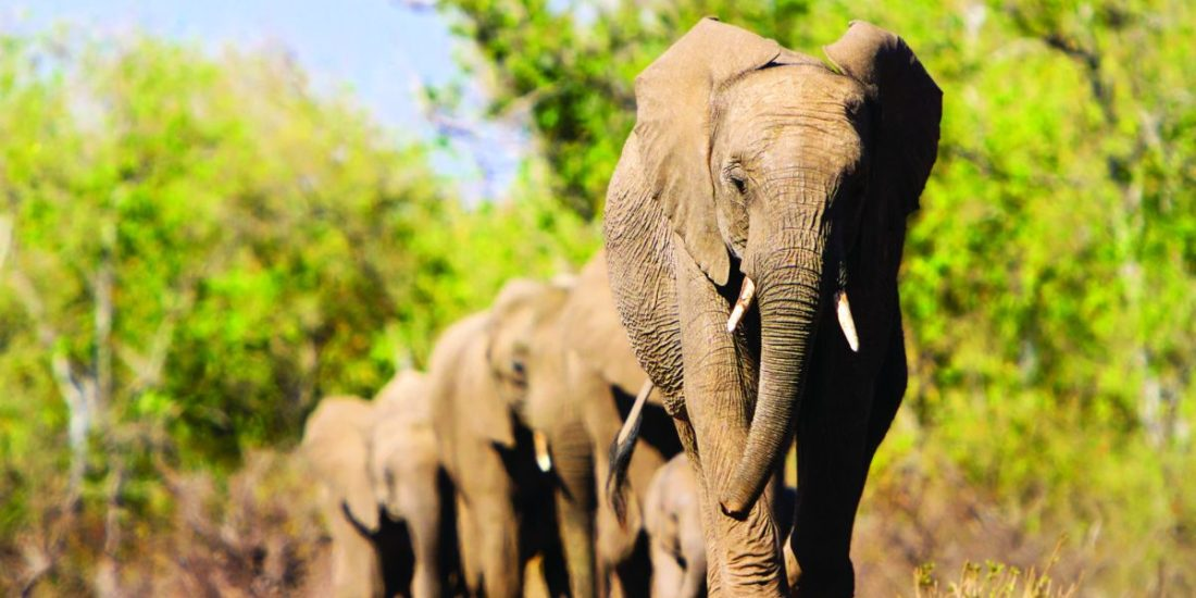 Chobe National Park in Botswana is home to an estimated 50,000 African bush elephants, the highest elephant concentration in Africa.