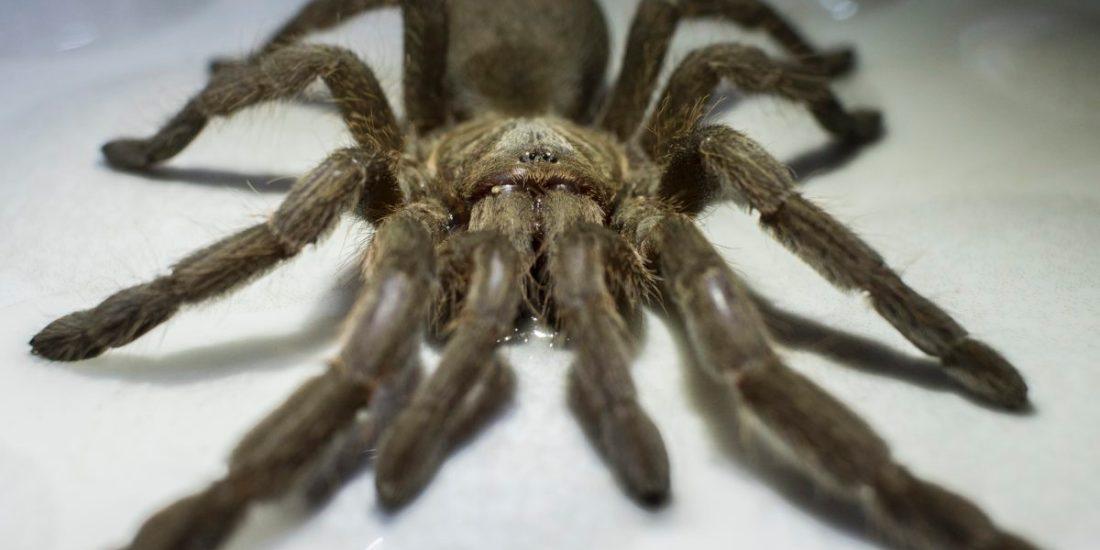 Creepy crawlies – the Tarantula