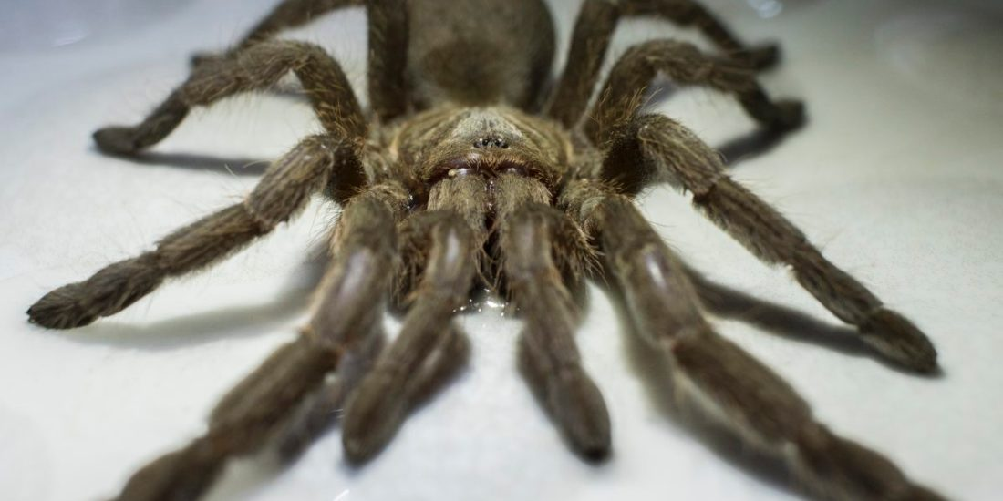 Creepy crawlies – the Tarantula