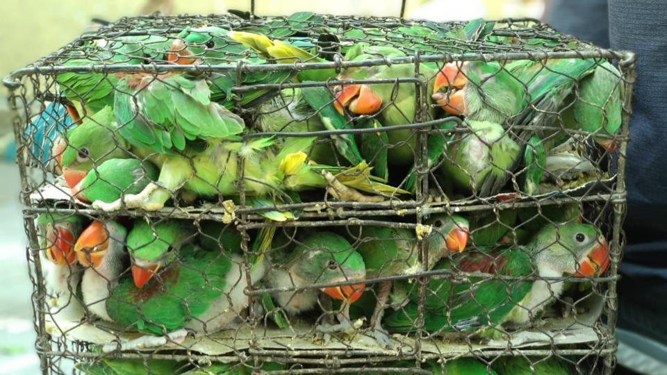 550 protected Indian birds rescued from Kolkata's illegal pet market