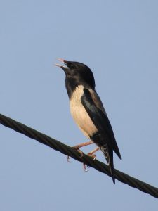 Rosy Starling or the Pastor bird
