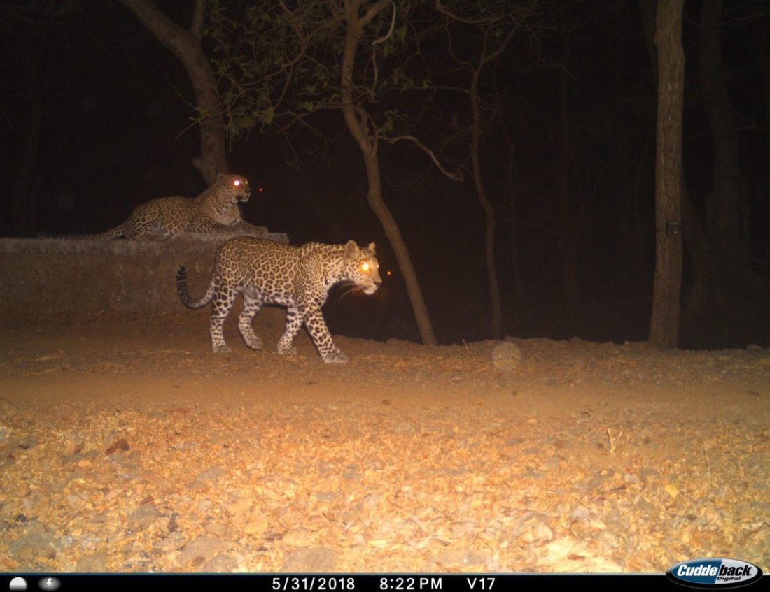 Leopards and Livestock - human-animal conflict