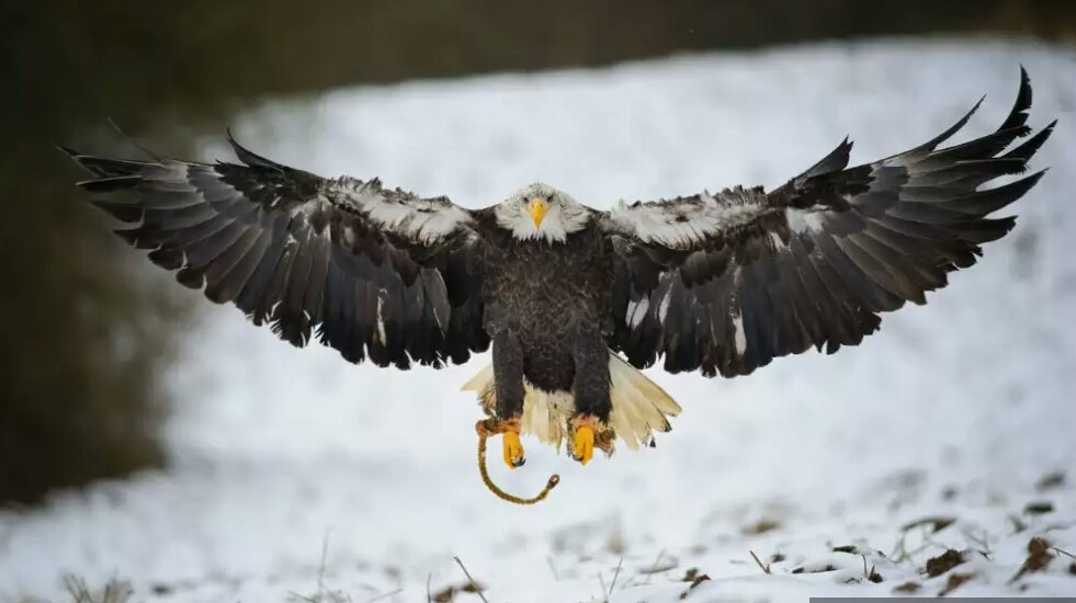 Britain's largest bird of prey, white-tailed eagle, returns home after 240 years!