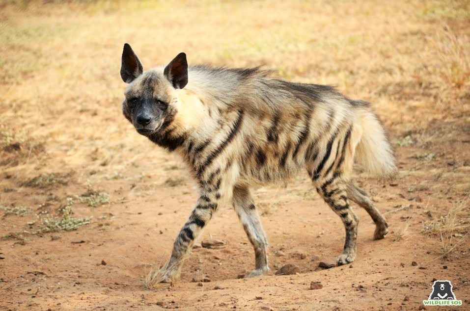 The Hyena Chronicles: Underdogs of the Wild!