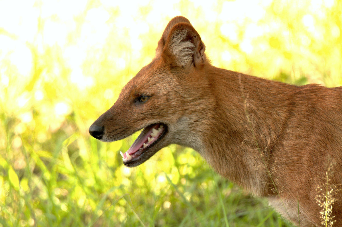 Protecting the Dhole