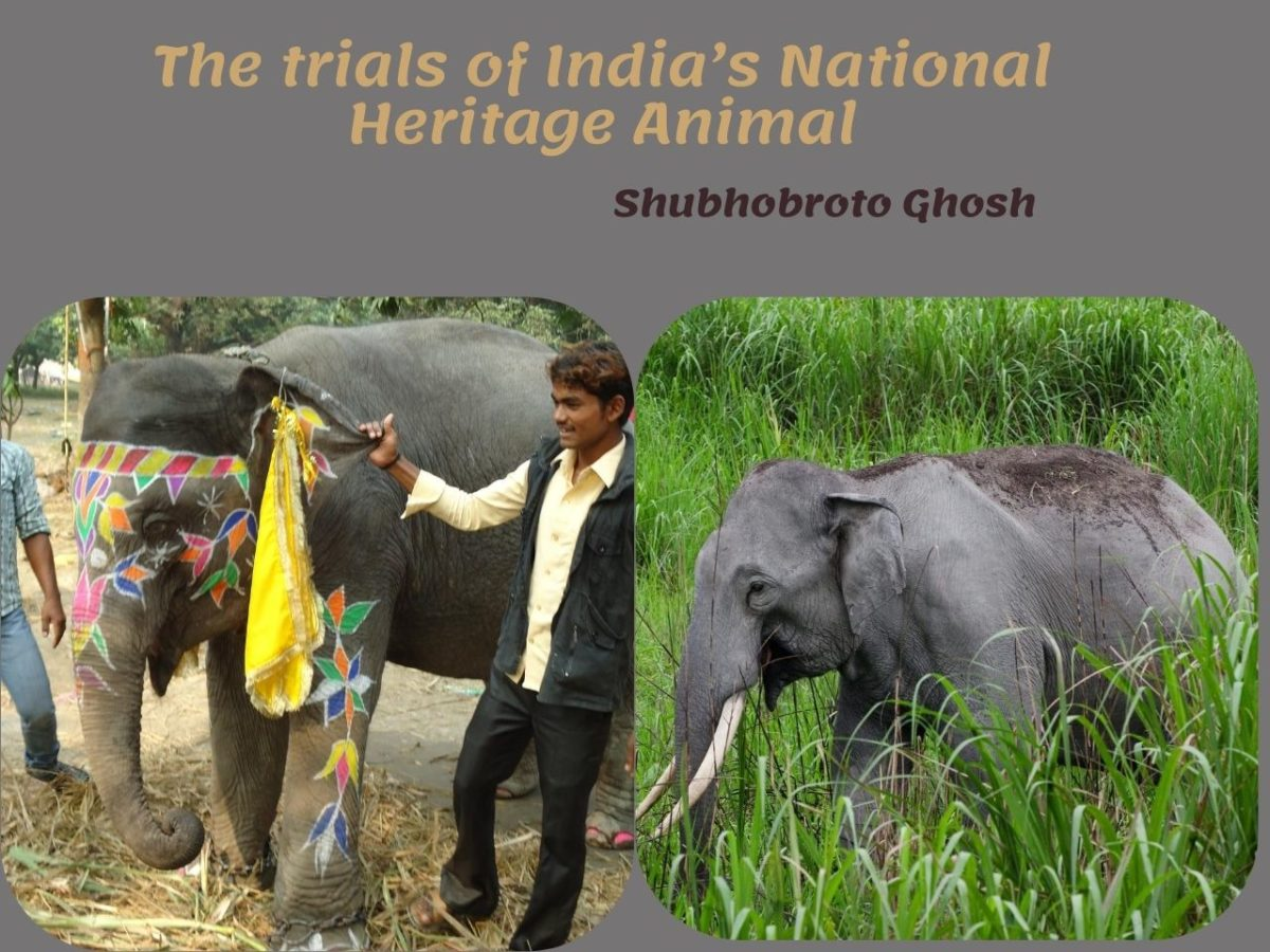 The trials of India's National Heritage Animal