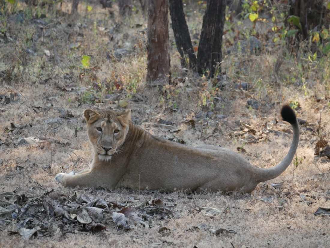 Lions roar free at Gir
