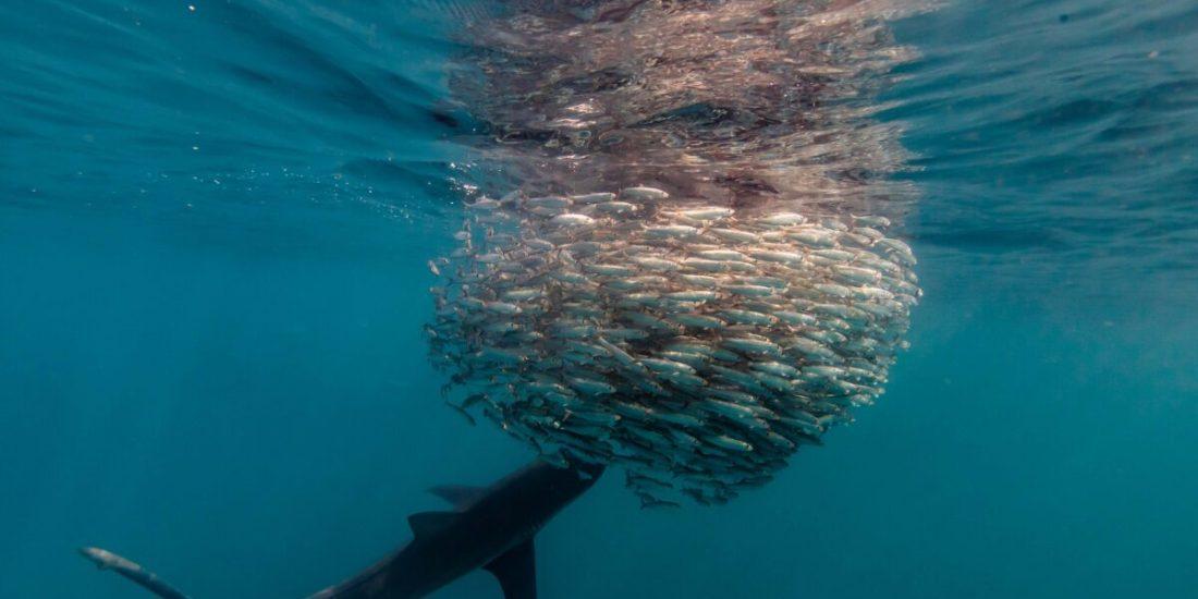 Greatest Shoal on Earth: The Sardine Run