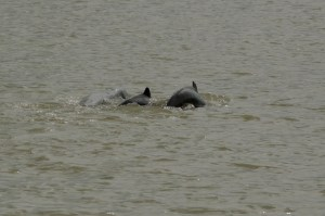 In Search of the Irrawaddy Dolphin