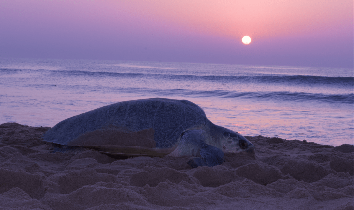 The Olive Ridley Arribada: Nature's Bounty