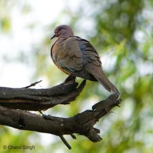 Avian Oasis in a Concrete Jungle: Chakkarpur-Wazirabad Bundh