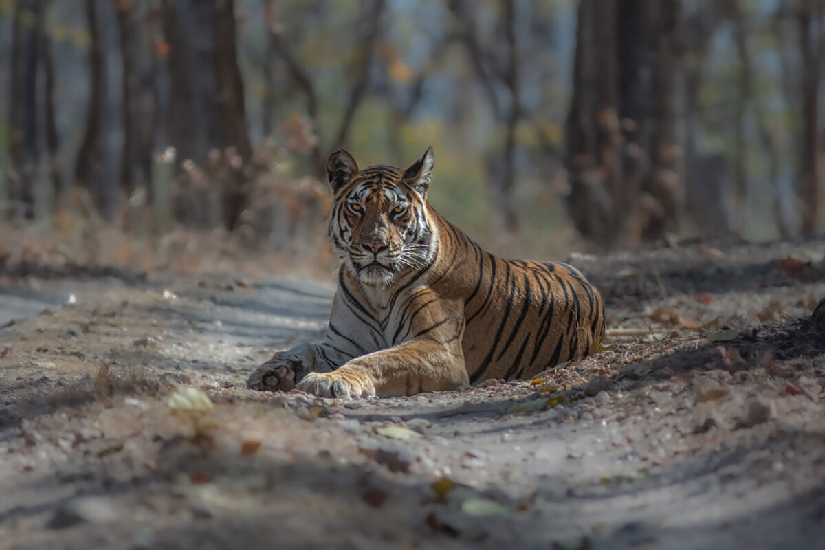 An encounter with Tigress Langdi (T20)