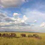 Elephants belong to the Elephantidae family