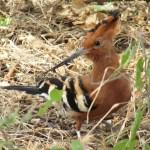 An African hoopoe belongs to the Upupidae family