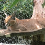 Caracals are nocturnal hunters