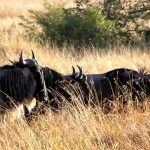 Wildebeest in the afternoon. Grasses glisten in the sun as these animals follow their annual migration path in Kenya