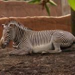 Zebra belongs to Equus genus