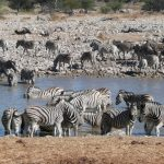 When zebras move the stripes confuse predators and biting insects