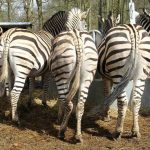 Zebras have superb eyesight and hearing