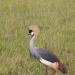 Crowned Crane walking in the grass in Kenya