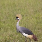 Crowned Crane walking in the grass in Kenya
