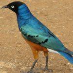 http://aviansafaris.com/birding-kenya/kenya-bird-watching-tours/birding-and-wildlife-19-days