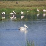 At lake Nakuru in Kenya in Africa is a paradise for birds, geese, comorans, herons, pelicans etc