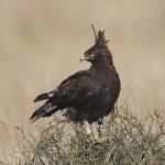 http://www.arcticimages.com/portfolio/africa-kenya-tanzania-birds-of-prey/