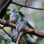 http://antpitta.com/images/photos/non-neotropics/kenya/aug-sep-2012-birds/gallery_kenya_2012_birds6.html