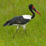 http://wildaboutanimals.forumotion.net/t2291-birds-of-meru-national-park-kenya-dec-2012