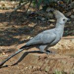 http://carolinabirds.org/HTML/Turaco.htm